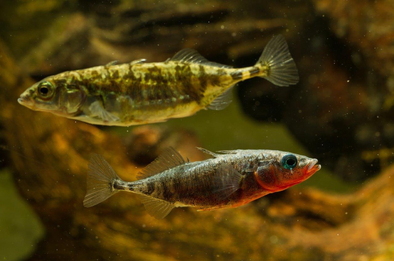 Фото рыба колюшка