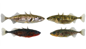 Lake (left) and stream (right) ecotypes of threespine stickleback in Lake Constance