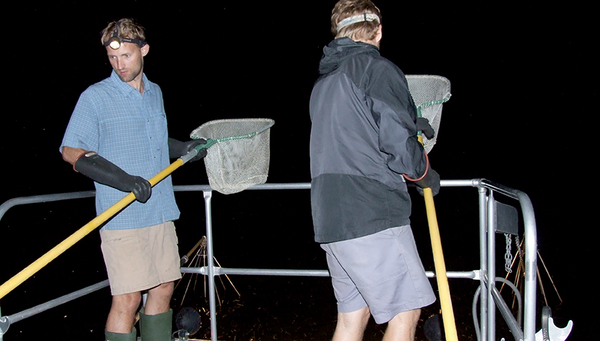 Fig. 1: To study morphological and genetic differences in chain pickerel, samples were collected from 12 US lakes. Electrofishing (pictured here) was carried out after sunset in the littoral zone. (Photo: Jakob Brodersen)