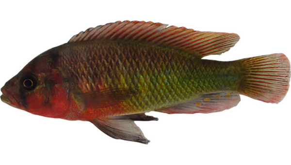 "Typical nuptial coloration of a male cichlid – Pundamilia sp. ""red head"" – from Lake Victoria in eastern Africa. (Photo: Ole Seehausen)"