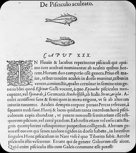 "Latin descriptions of the threespine and ninespine stickleback from Guillaume Rondelet's 1554 treatise ""De Piscibus""."