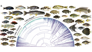 The graphic shows the chronological history of the development of all 1712 cichlid species scientifically described, true to scale. The superfast radiations of Lake Victoria and Lake Malawi are marked in green. The photos give an impression of the morphological diversity of the cichlids. (Graphic: Matthew McGee et a., Nature 2020)