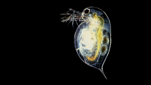 The common water flea Daphnia pulex. (Photo: Paul Hebert, doi:10.1371/journal.pbio.0030219, CC BY 2.5)
