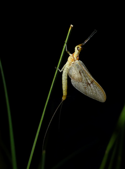 Mayflies, like many other insects, develop as larvae in lakes and ponds. As adults, they also inhabit terrestrial ecosystems, where they represent a source of carbon. (Photo: Florian Altermatt)