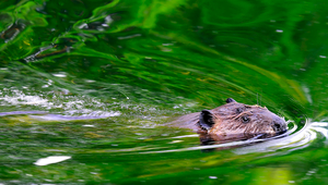 Beavers make streams more dynamic and biodiverse. (Photo: Mark Giuliucci, Flickr, CC BY-NC 2.0)