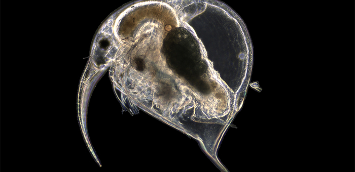 The water flea Bosmina under the microscope. Its size is 1 to 3 microns. (Photo: Eawag)
