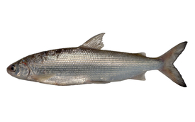 "The newly described Lake Thun whitefish species, provisionally named ""Balchen2"""