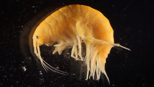 Fig. 1: Gammarus alpinus preserved in alcohol: the distinctive morphological features of this amphipod species are only apparent under the microscope. (Photo: Roman Alther)