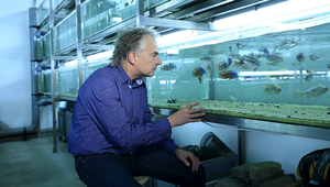 Ole Seehausen has been researching the speciation of the cichlid for 25 years.