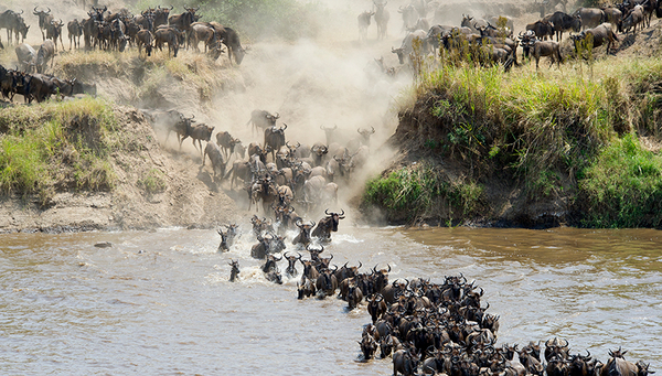 When a herd of wildebeest cross a river, not all the animals will make it to the other side. (Photo: iStock.com / Jannie_nikola)